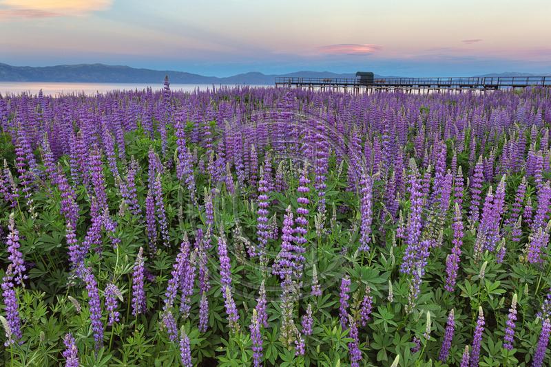 Lupin, Lake Tahoe